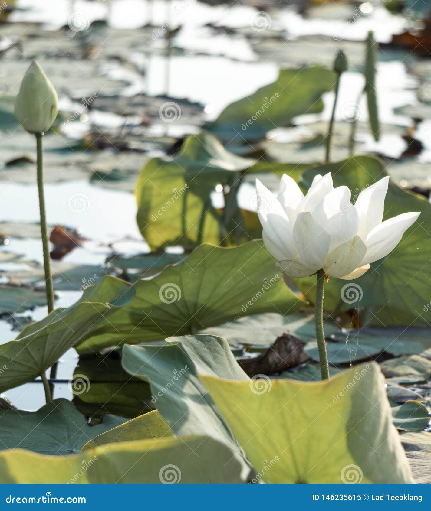 L?tus brancos no lago Phatthalung Tail?ndia Thale noi