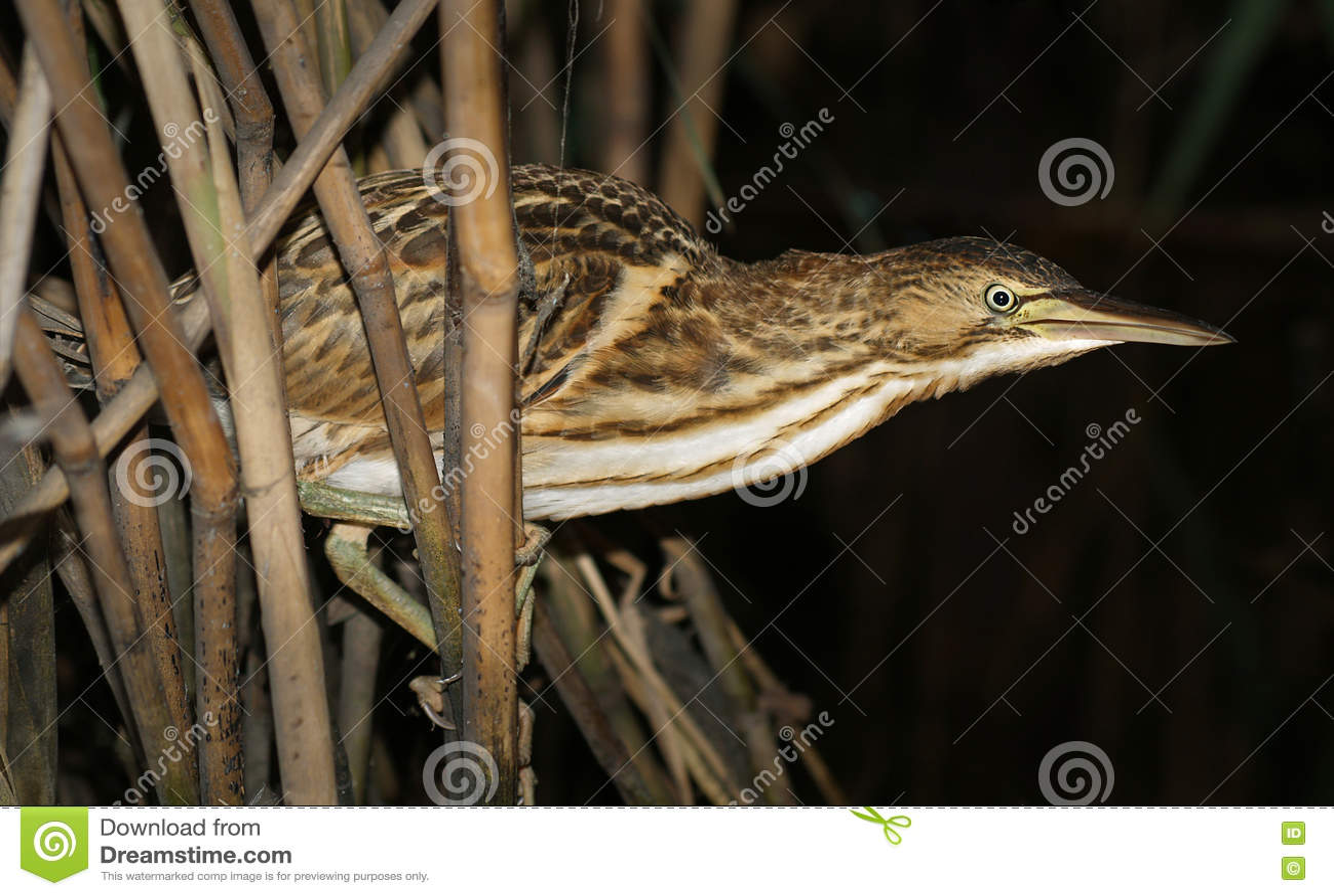 L uccello nelle canne