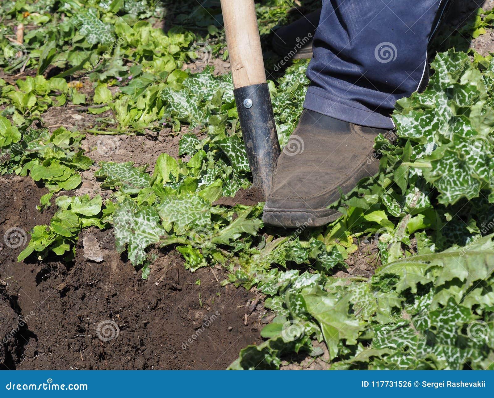 L uomo coltiva la terra dissotterra il lavoro arabile manuale della pala del lavoro dell agricoltura della molla dell orto all ap