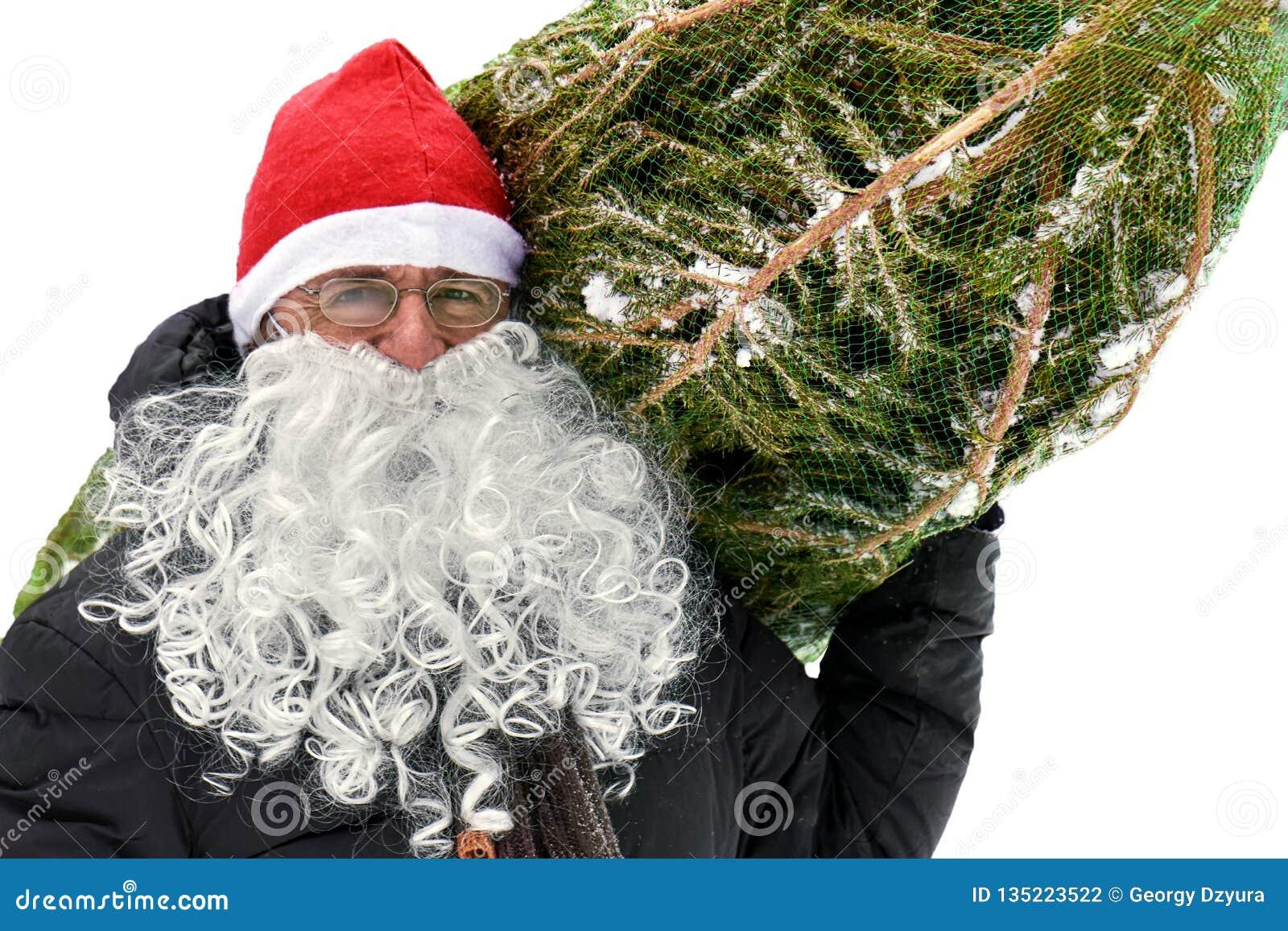 L uomo in un cappello rosso ed in una barba bianca di Santa porta un albero di Natale imballato in una griglia isolati su bianco