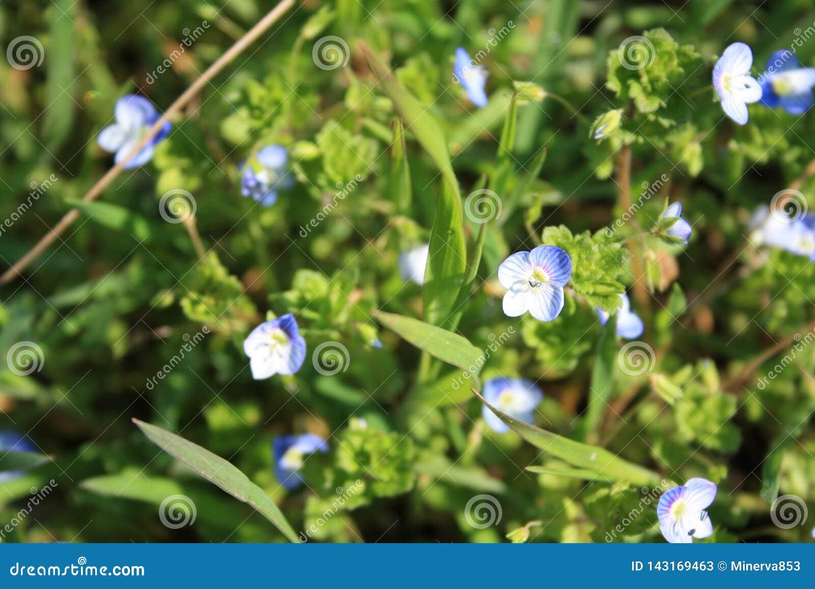 L usine de Veronica a les fleurs bleues profondes avec une corolle quatre-lobée et les tiges qui sont velues seulement le long de