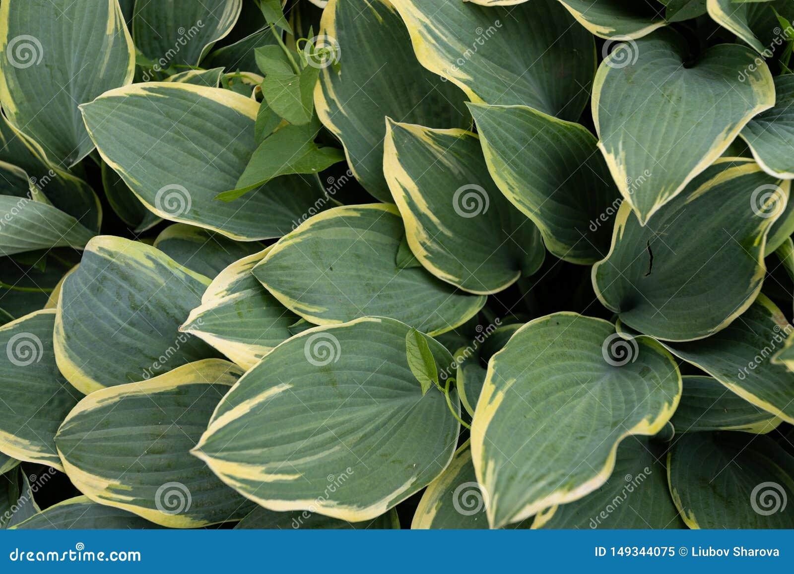 L usine Ombre-tol?rante avec les feuilles vert-jaunes d?coratives, peut ?tre employ?e comme fond naturel