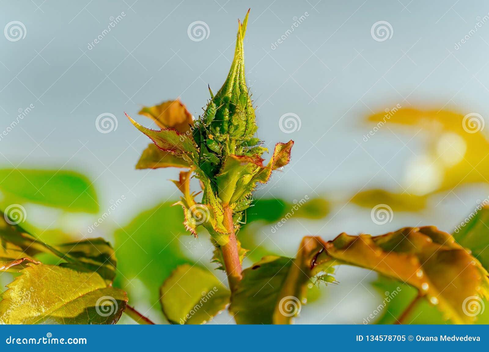 Combattere Afidi Delle Rose l'uso degli antiparassitari contro i parassiti e delle