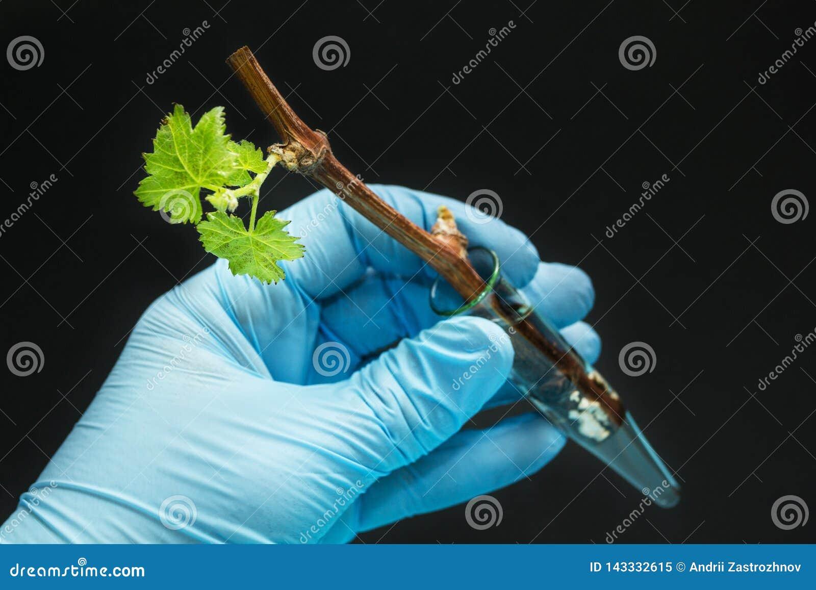 L uva geneticamente modificata germoglia in una fiala di vetro in una mano gloved su un fondo nero