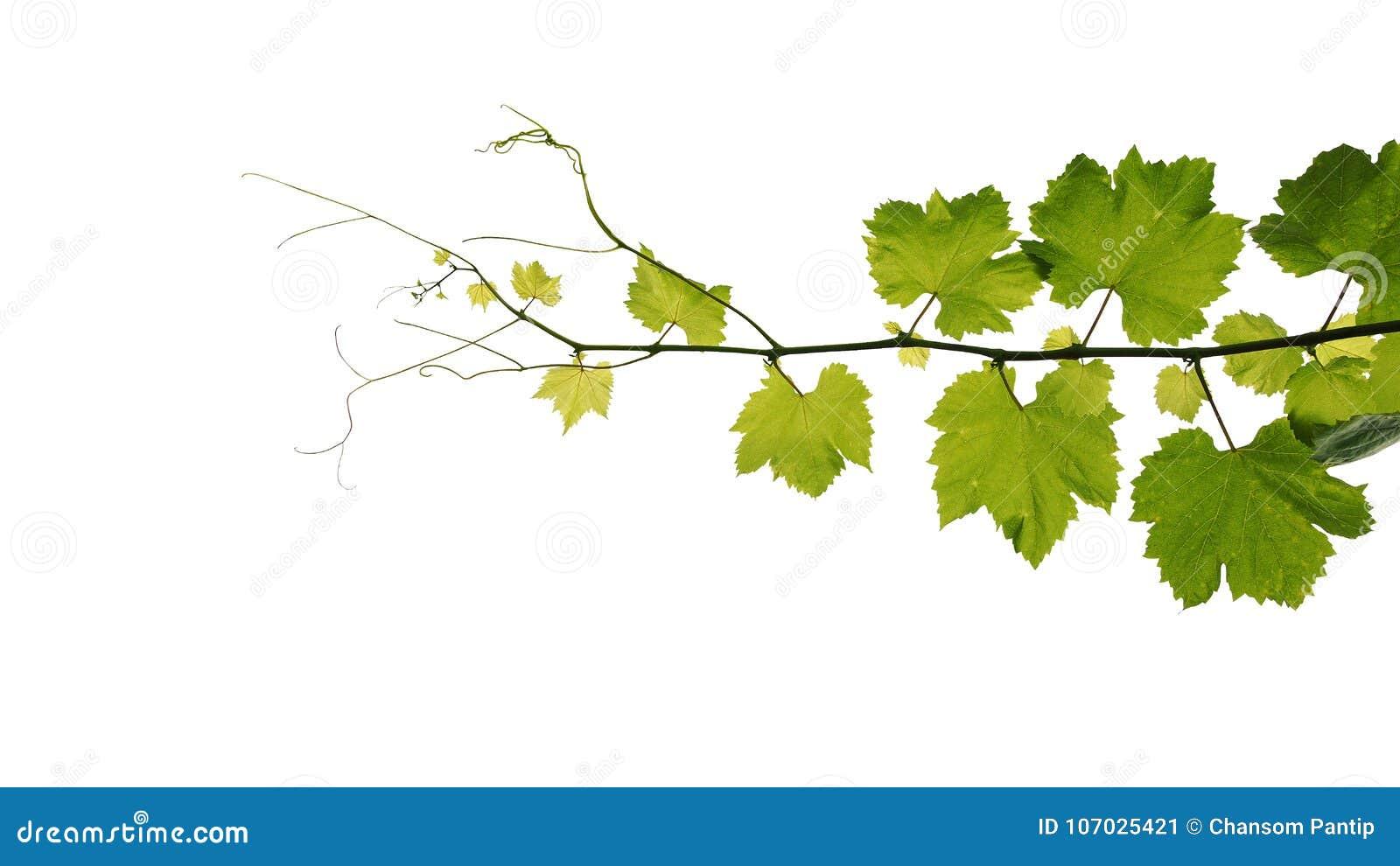 L uva lascia il ramo della vite con i viticci isolati sul backgro bianco