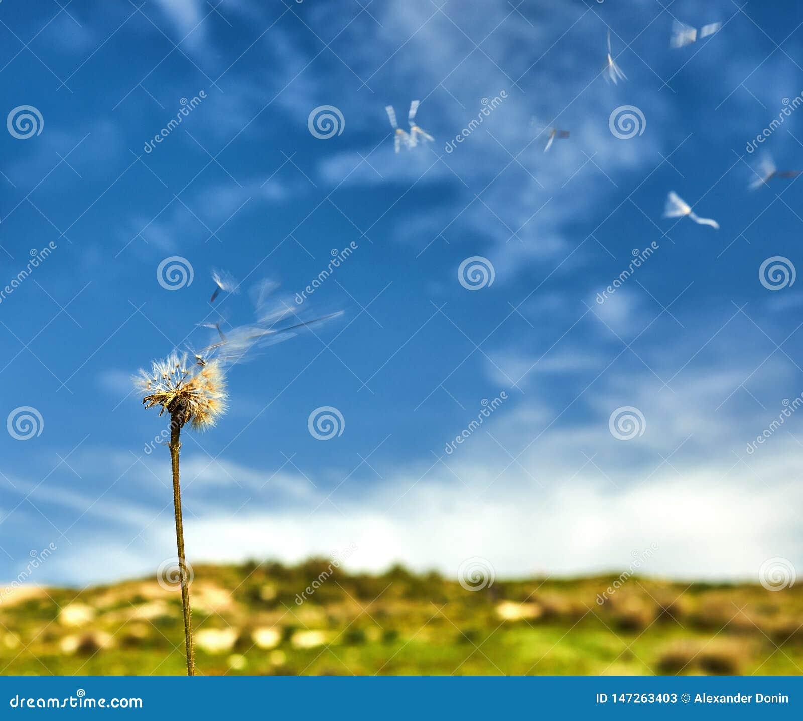 L?wenzahn mit den Samen, die weg im Wind durchbrennen