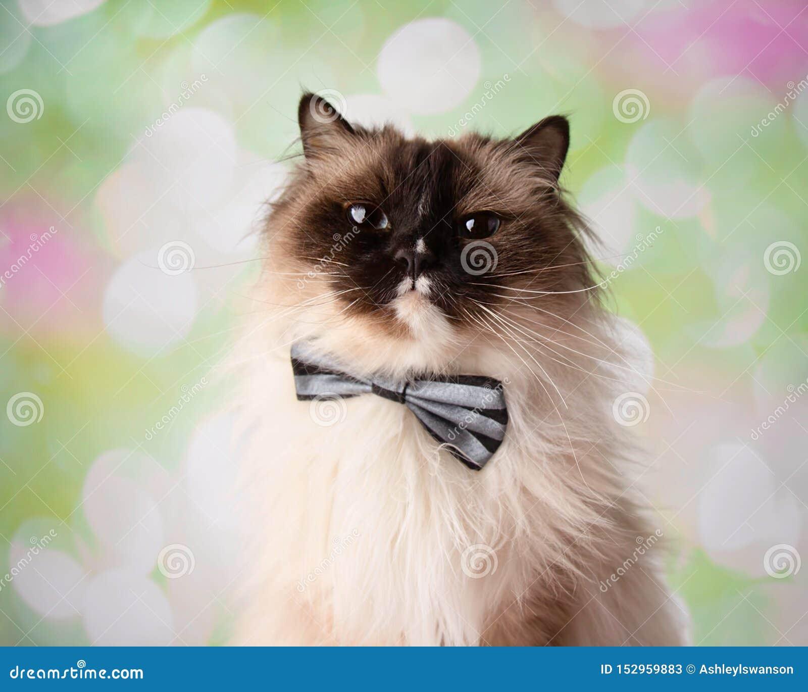 Laço Eyed azul de Cat Close Up Face Wearing da raça de Ragdoll