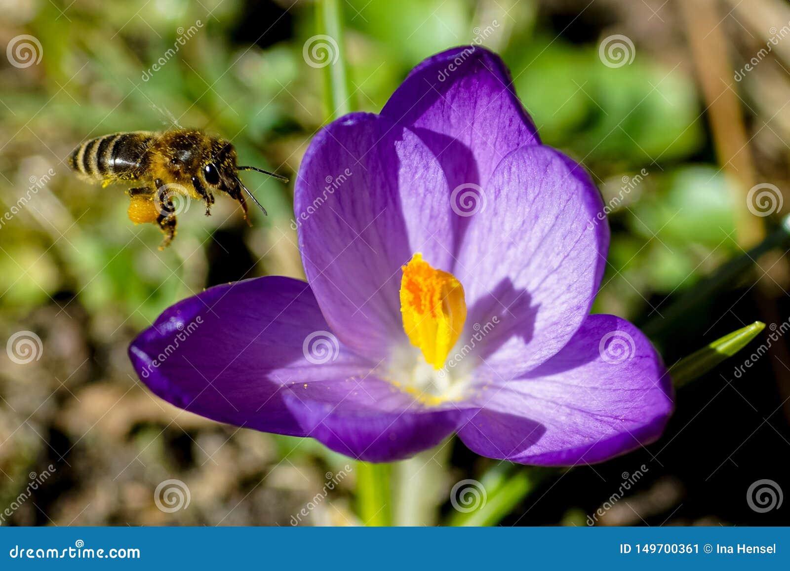 La abeja con polen en él es pies