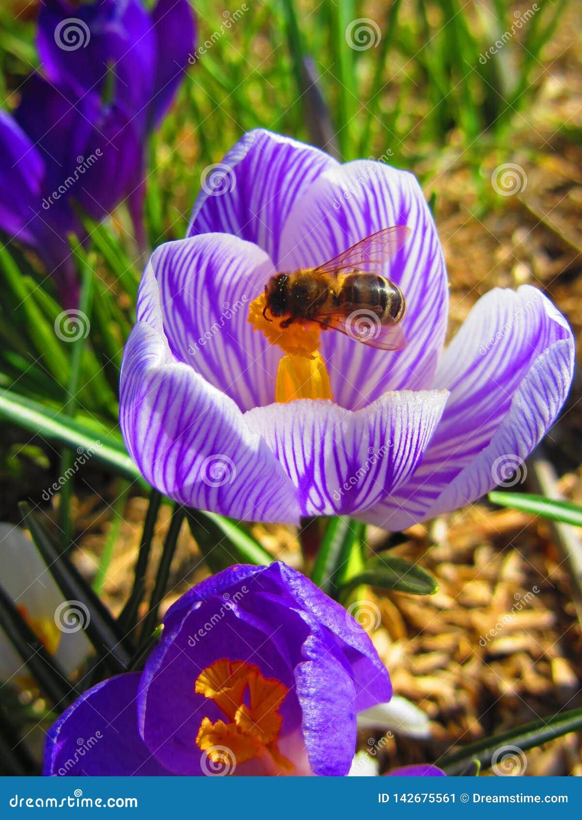 La abeja está en el azafrán hermosa de la primavera