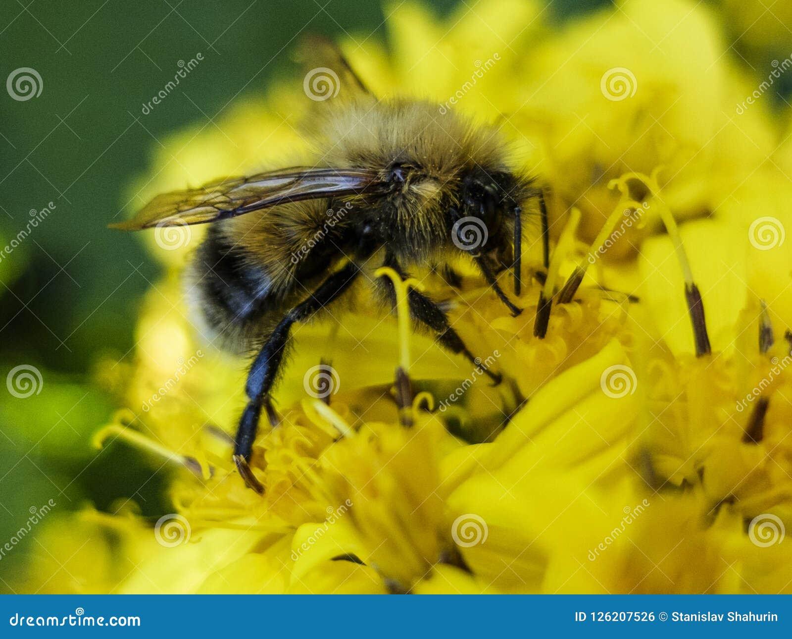 La abeja que se sienta en una flor amarilla y recoge macro del néctar
