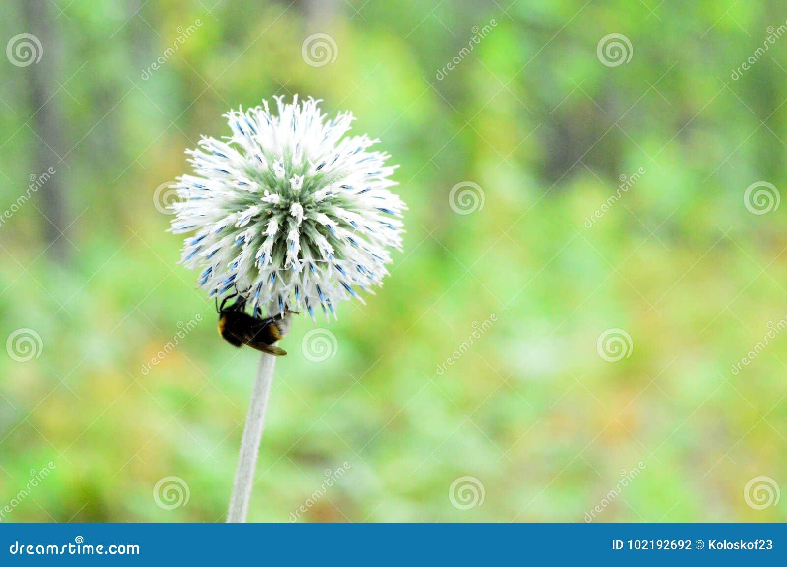 La abeja recoge el néctar restante del otoño