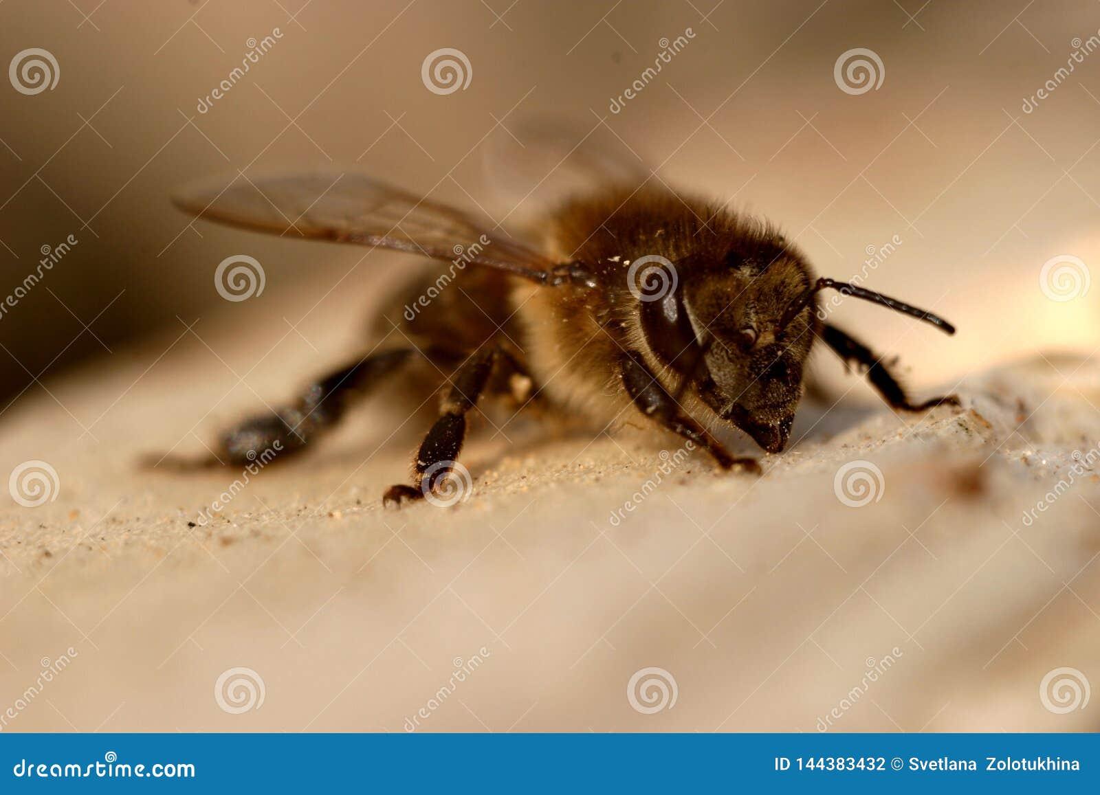 La abeja toma el sol en el sol