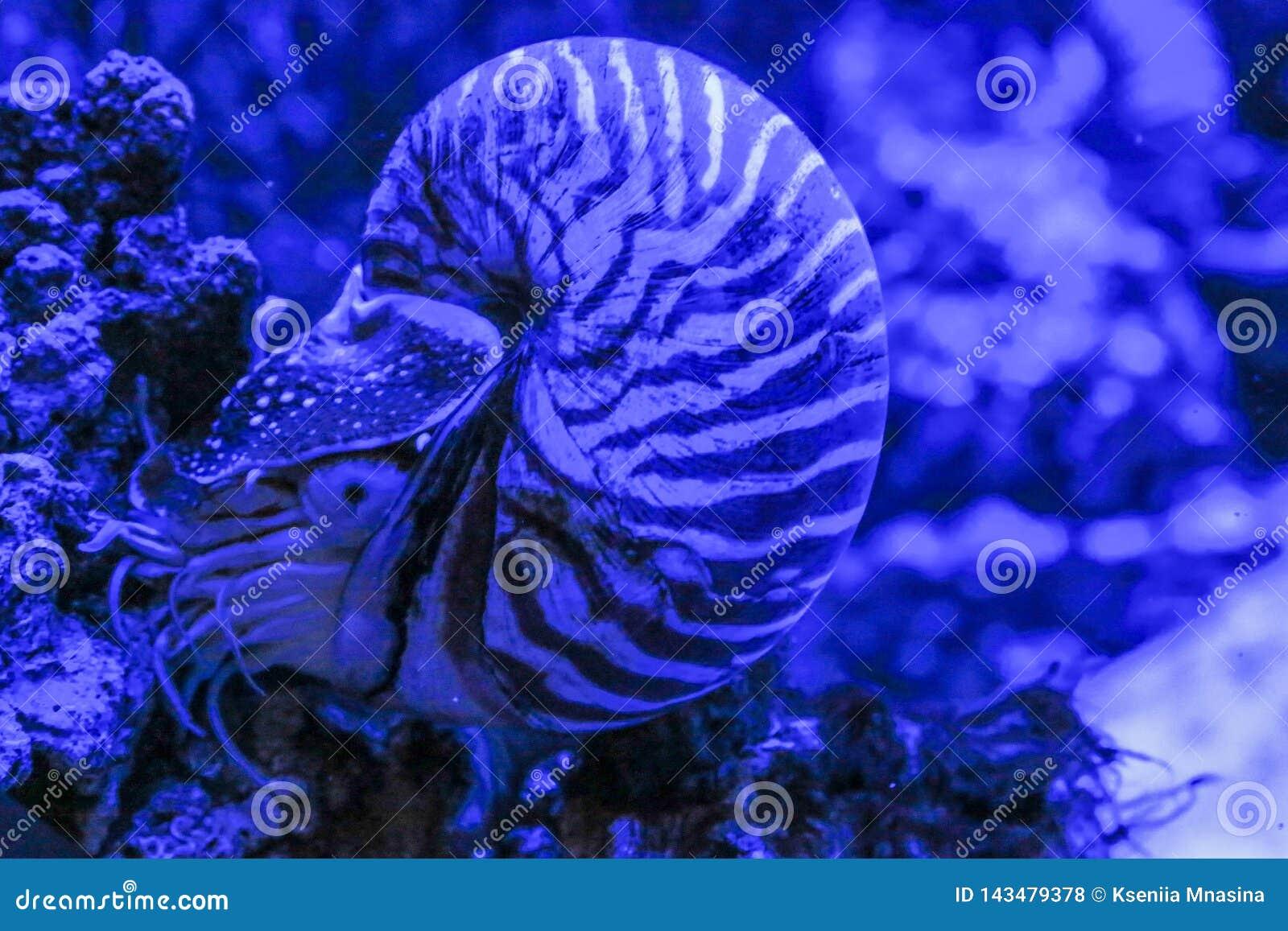 La almeja de Pompilius del nautilus se sienta en un coral