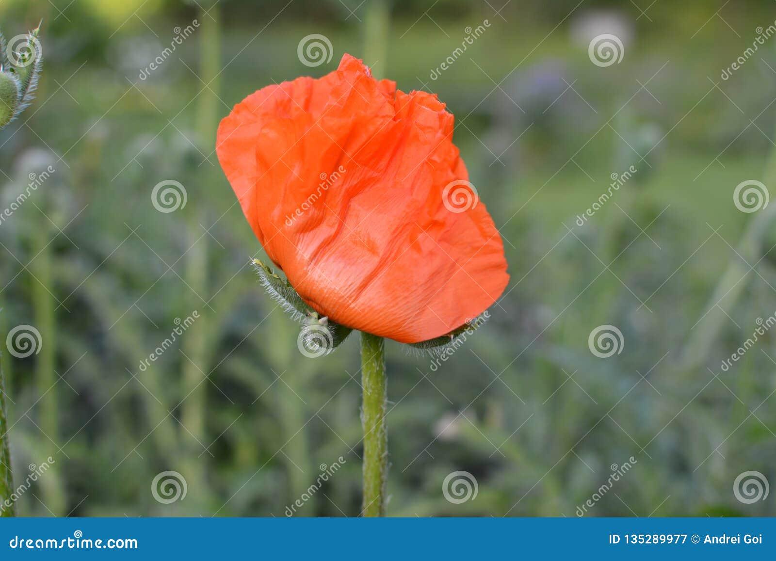 La amapola roja de la flor joven crece