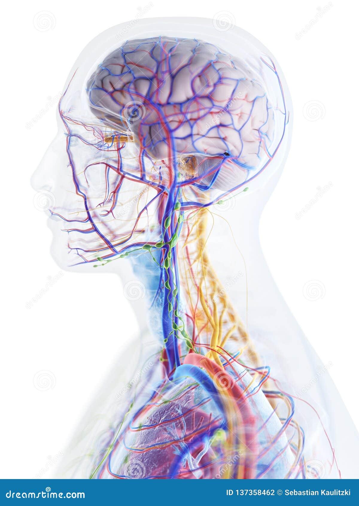 La anatomía de la cabeza y del cuello