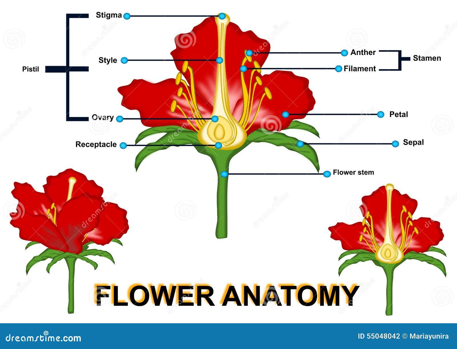 Moderno La Anatomía De Una Flor Motivo - Imágenes de Anatomía Humana ...