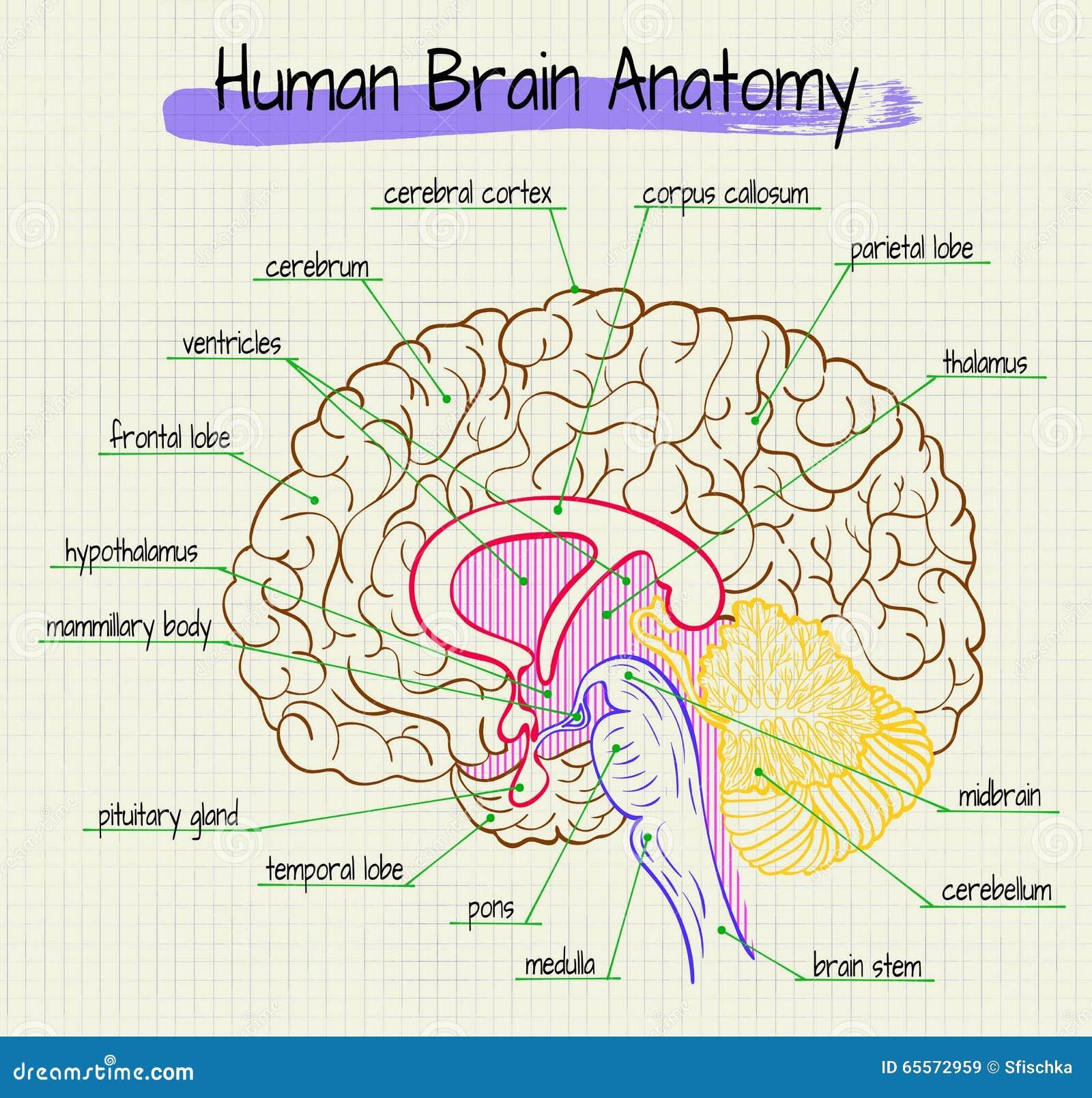 La Anatomía De La Vista Lateral Del Cerebro Humano Ilustración del ...