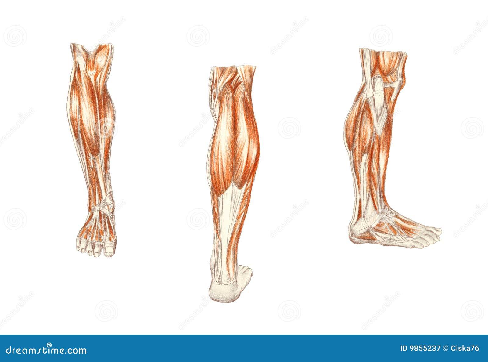 La Anatomía Del Hombre. Los Músculos De La Pierna Stock de ...