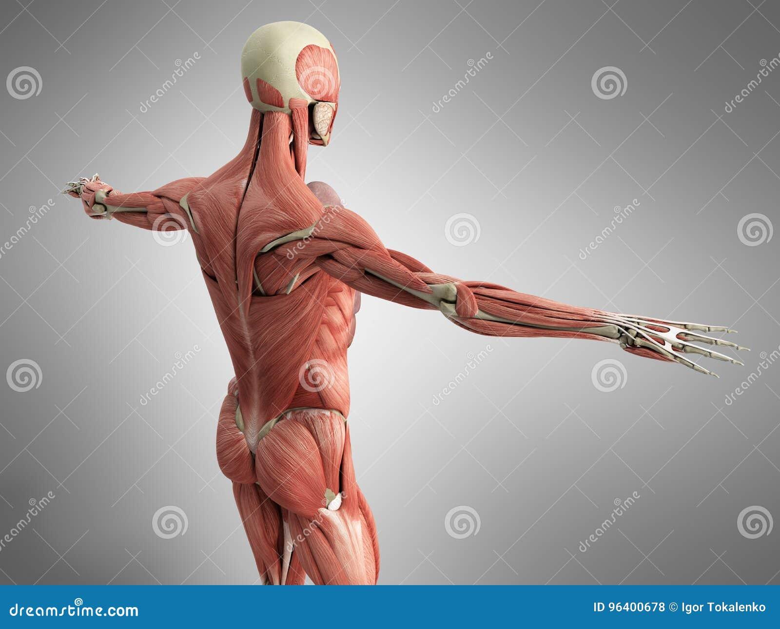 La Anatomía Humana 3d Del Músculo Rinde En Gris Stock de ilustración ...