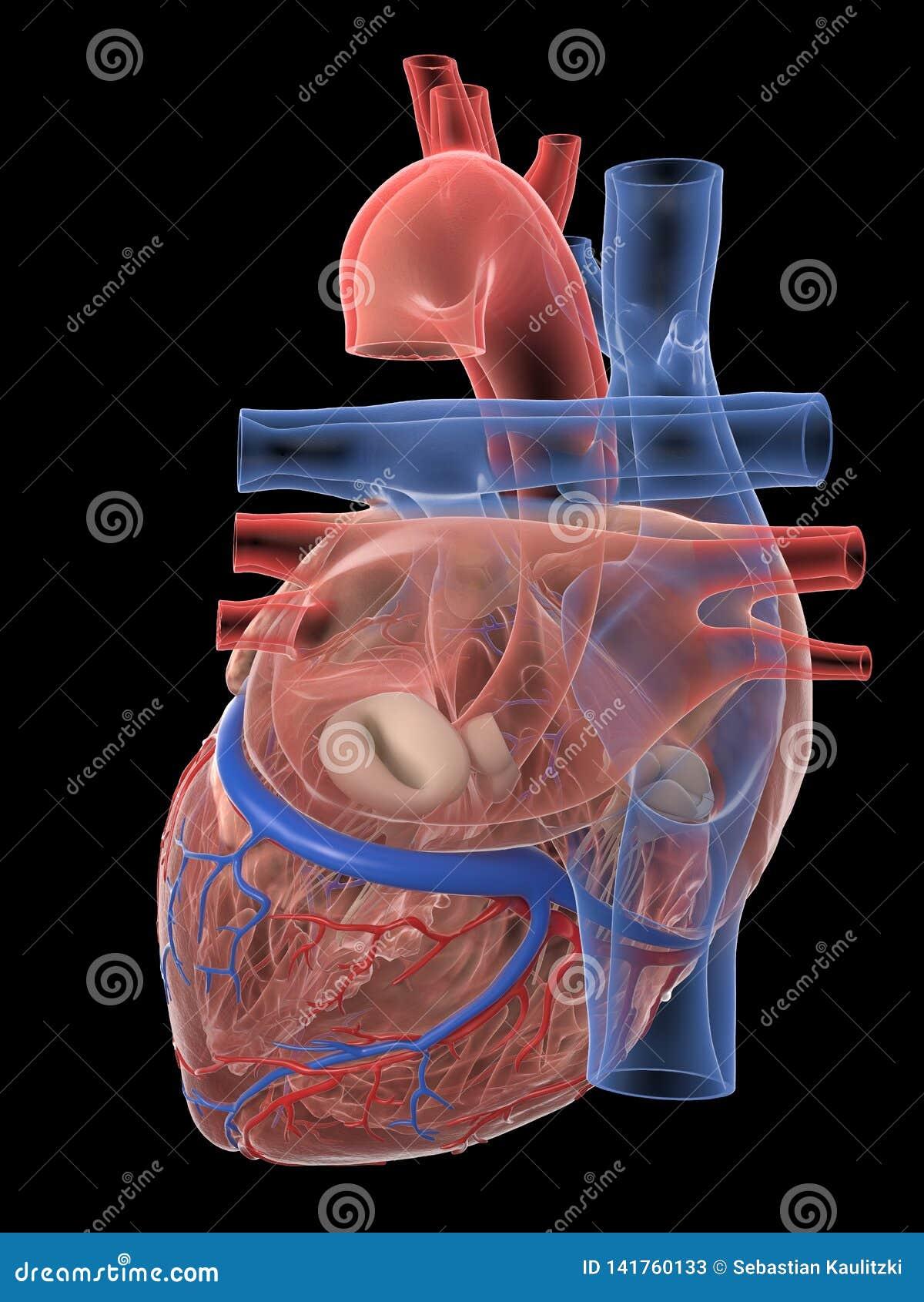 La anatomía humana del corazón