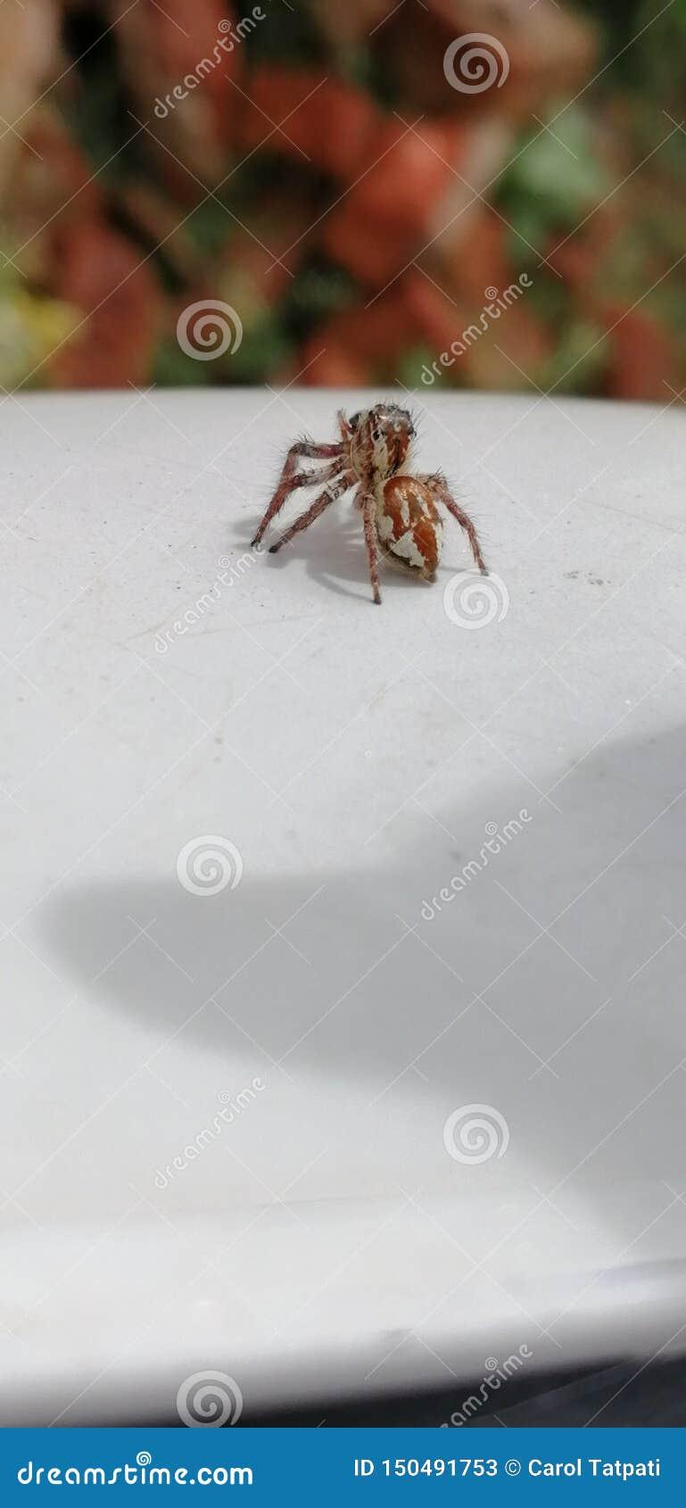 La araña común de la casa