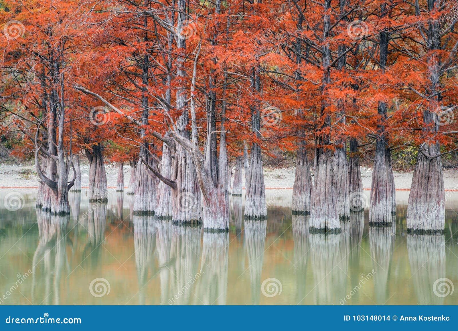 La arboleda de los árboles de ciprés del pantano en otoño