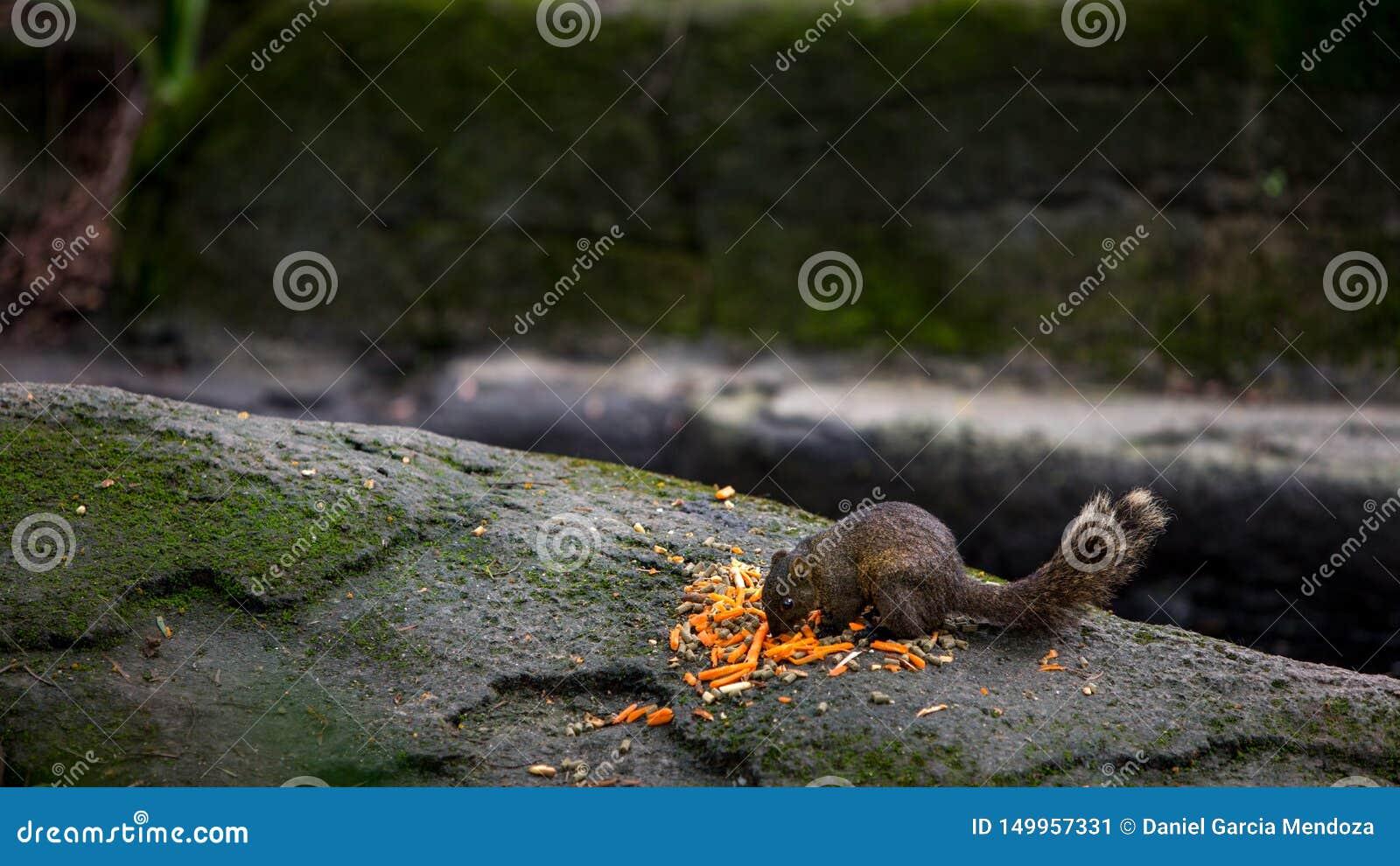 La ardilla de Pallas que come la comida en la roca del bosque