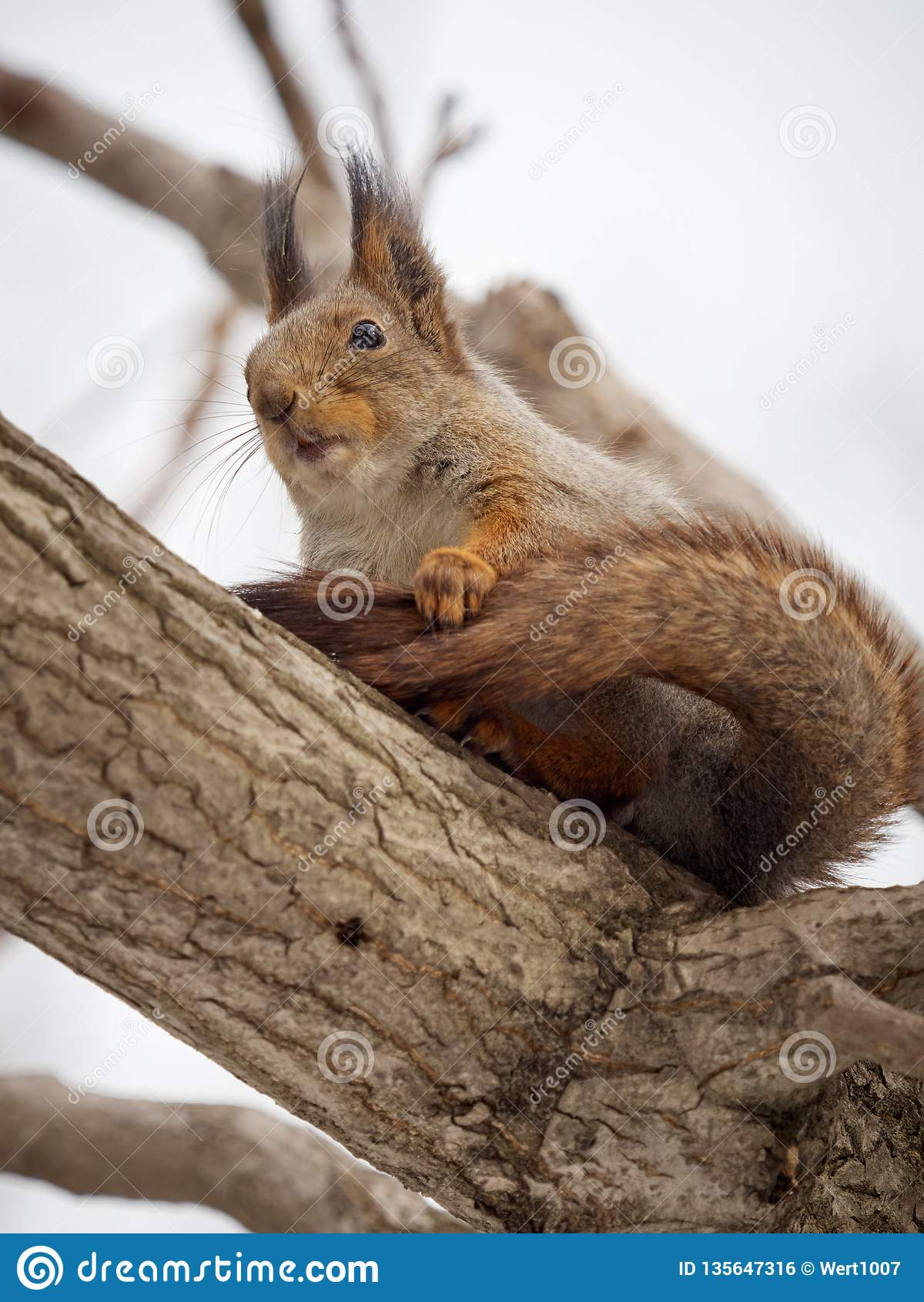 La ardilla en piel del invierno se sienta en una rama gruesa de un árbol