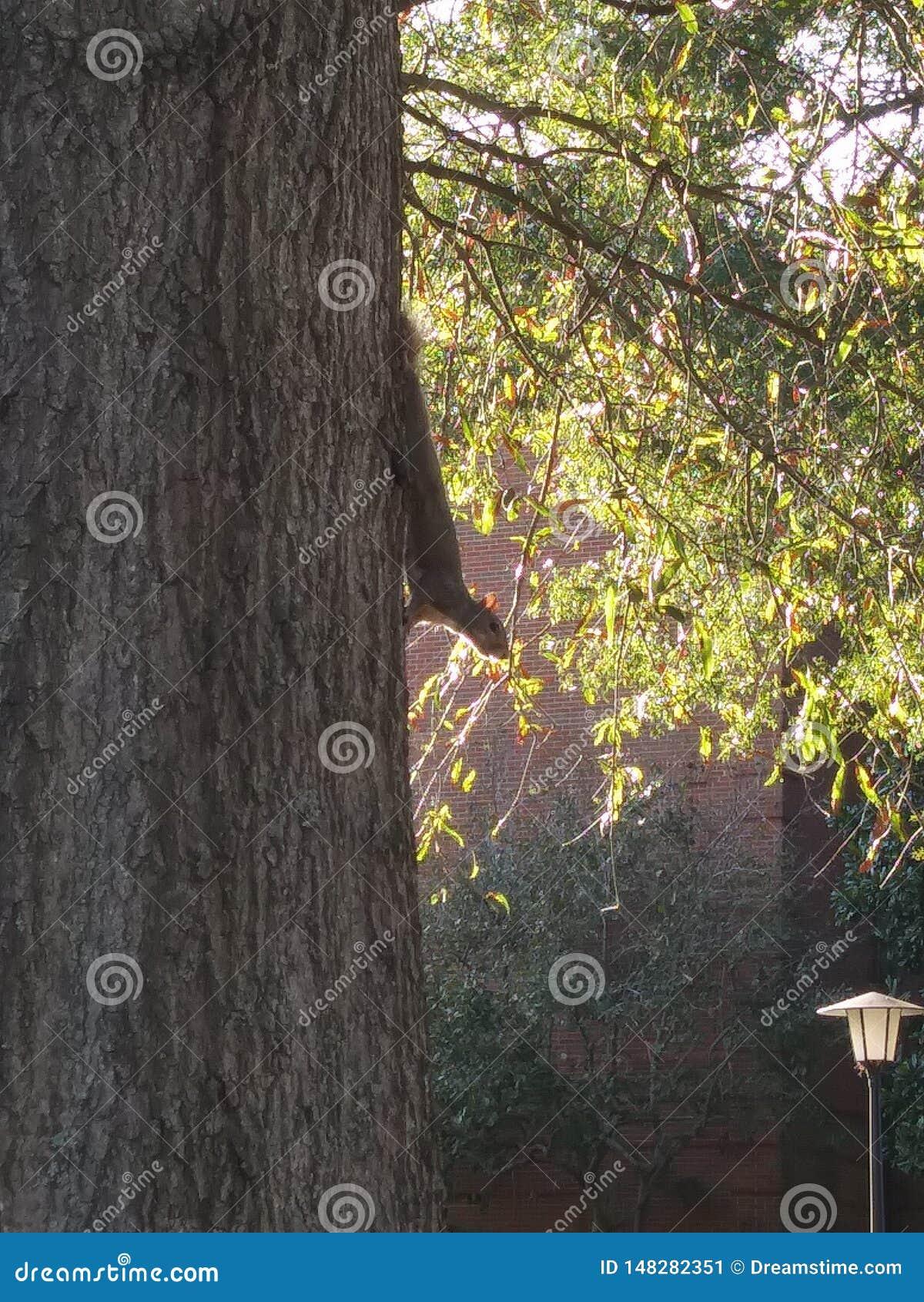 La ardilla mira de árbol