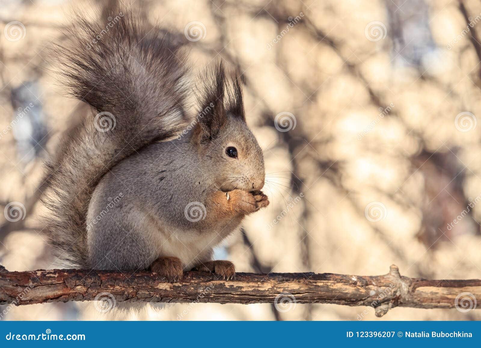 La ardilla mullida linda que se sentaba en rama y que comía las semillas de girasol con la luz empañó el fondo