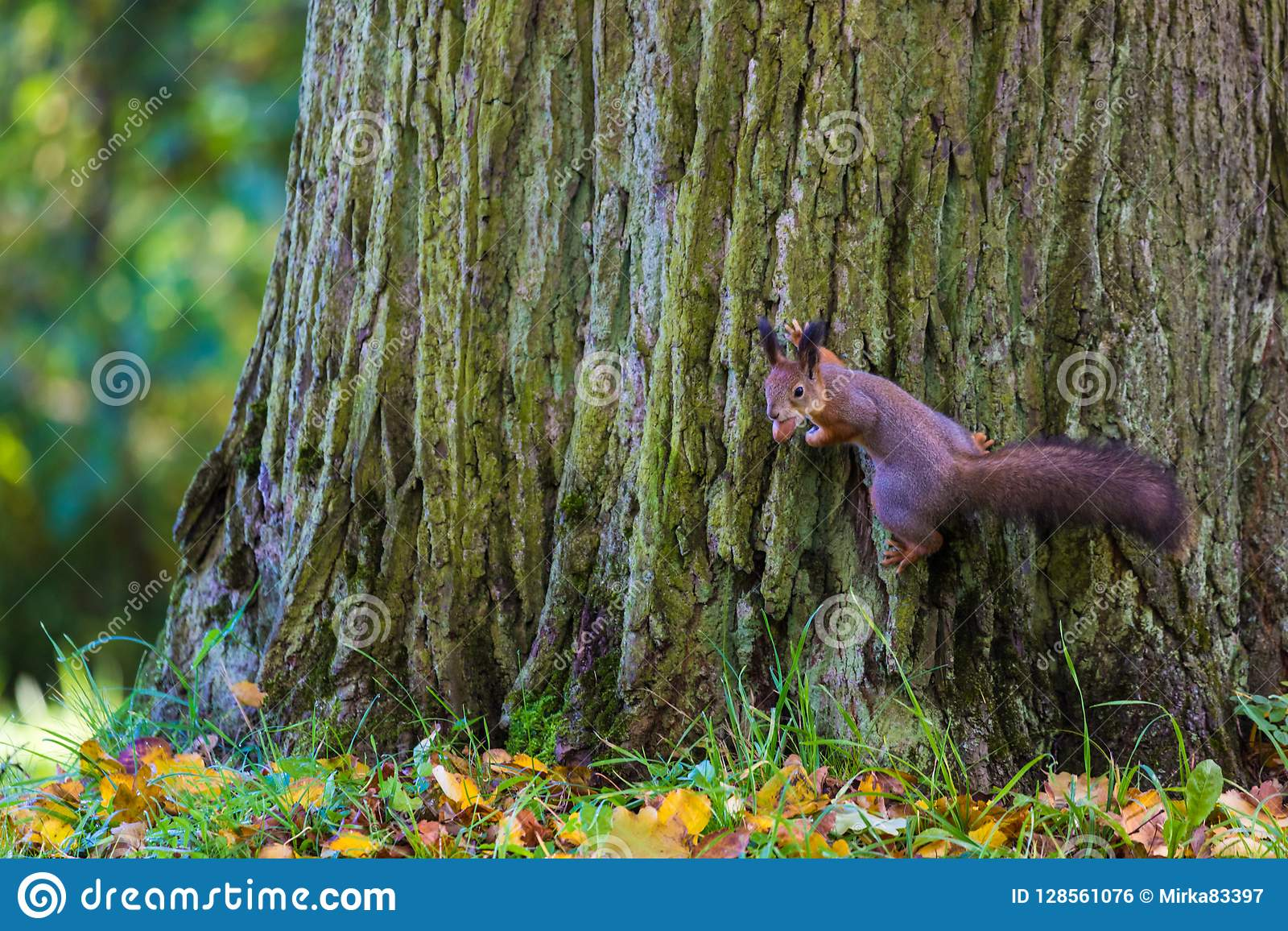 La ardilla que juega en el parque que busca la comida durante el día soleado del otoño