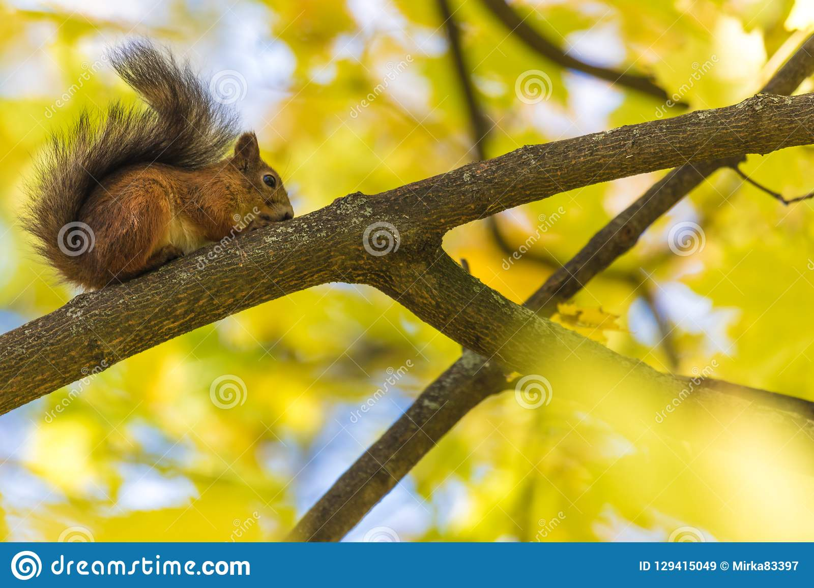 La ardilla que se sienta en la rama de un árbol en el parque o en el bosque en el día caliente y soleado del otoño
