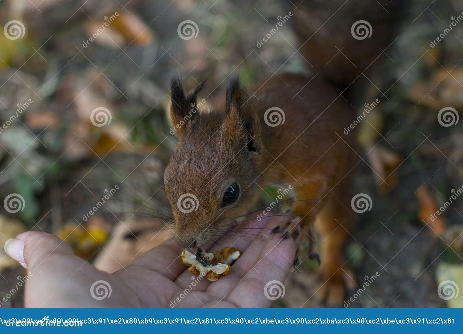 La ardilla roja come las nueces