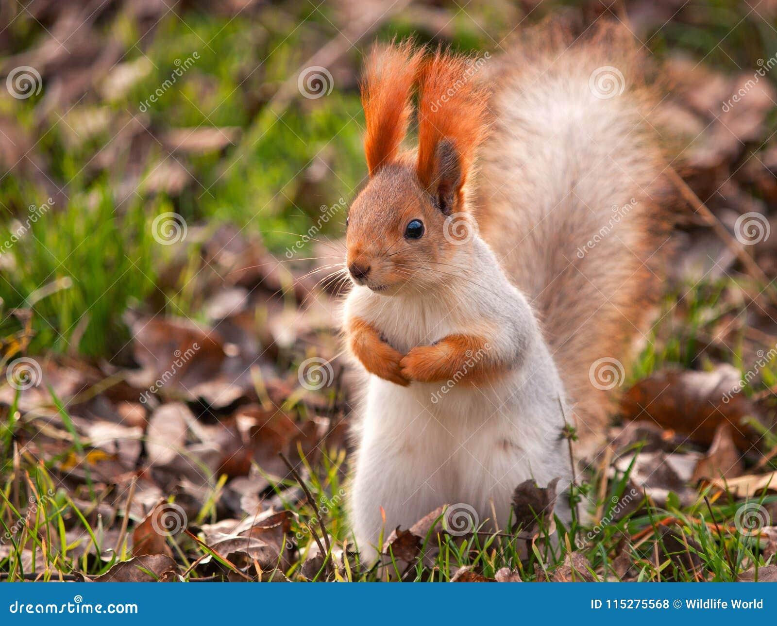 La ardilla roja se coloca en la hierba y mira la cámara