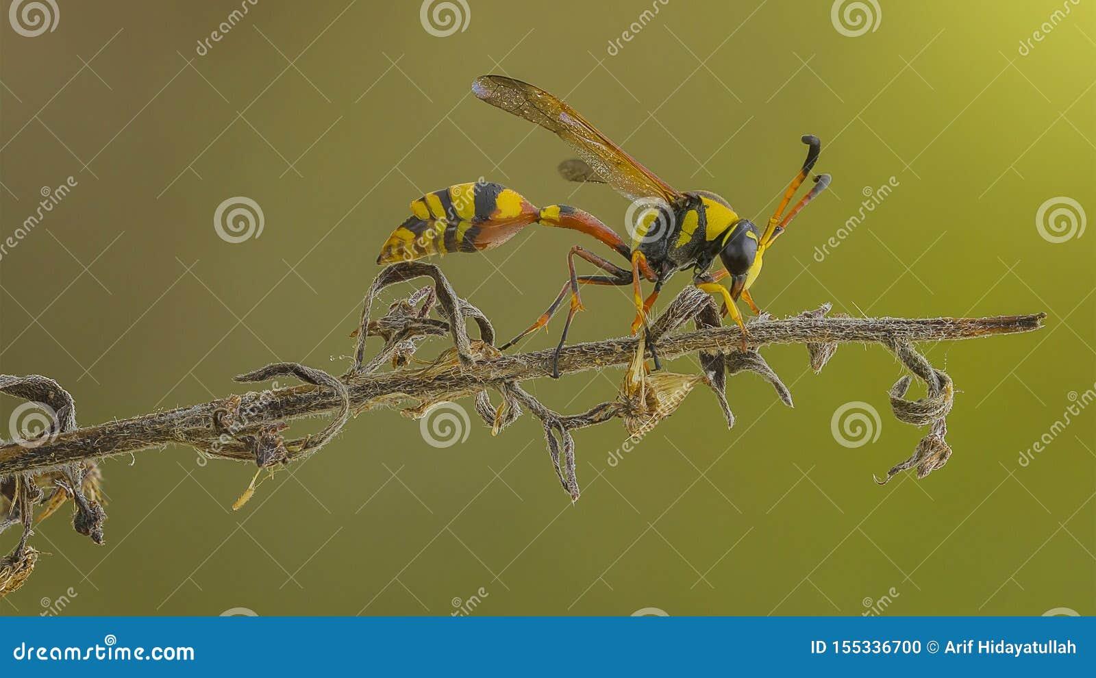 La avispa amarilla en rama