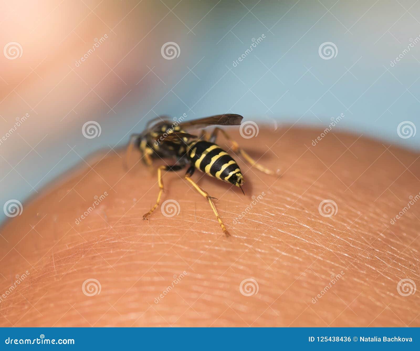 La avispa hueco del insecto voló a la mano humana y sacó una picadura t