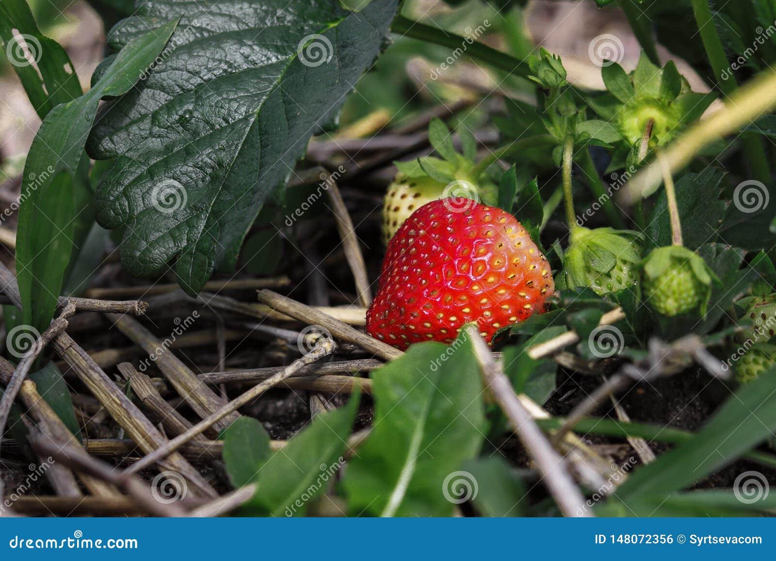 La bacca rossa matura della fragola si sviluppa fra le foglie verdi ed il fieno