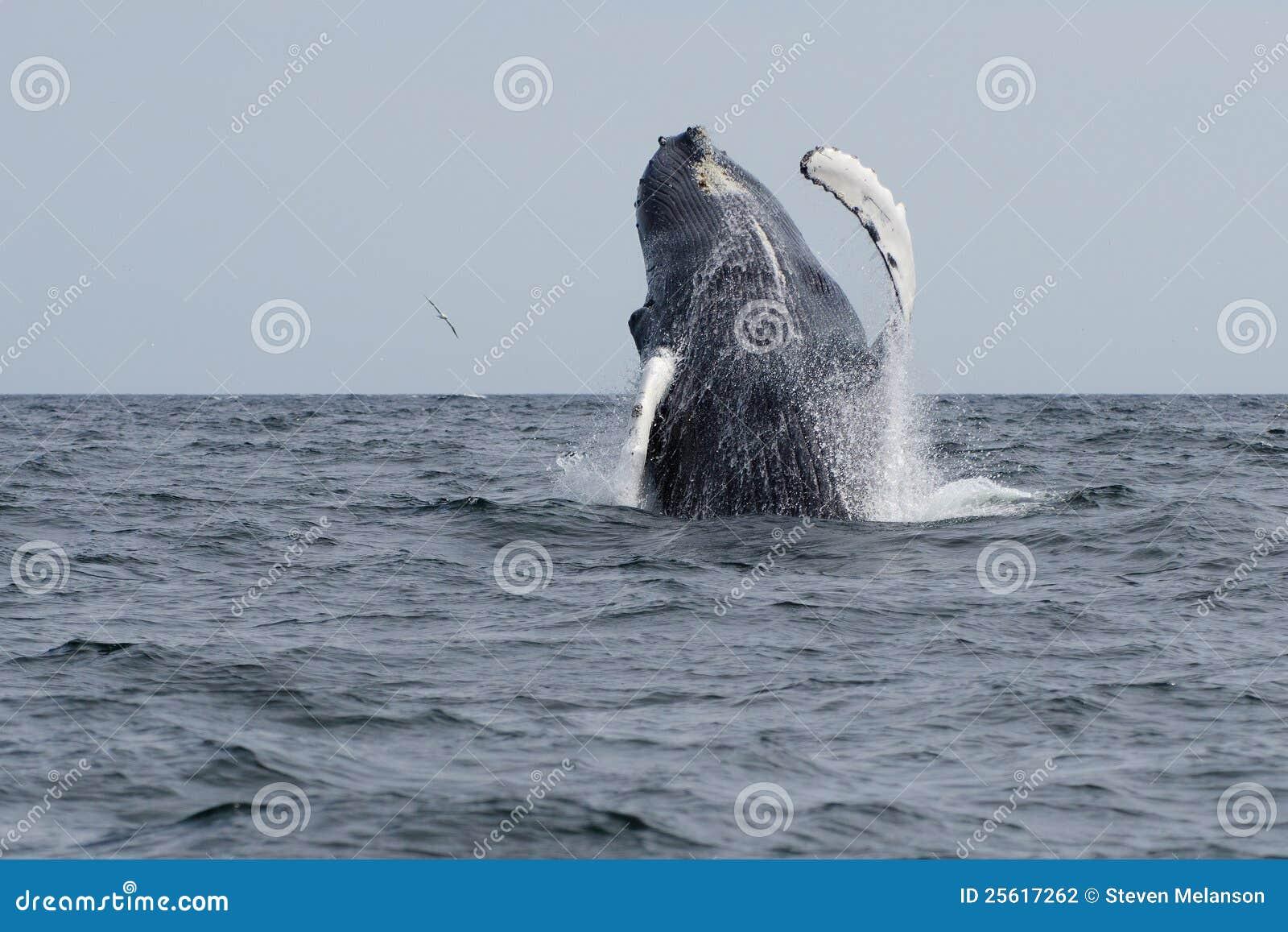 La balena di Humpback salta