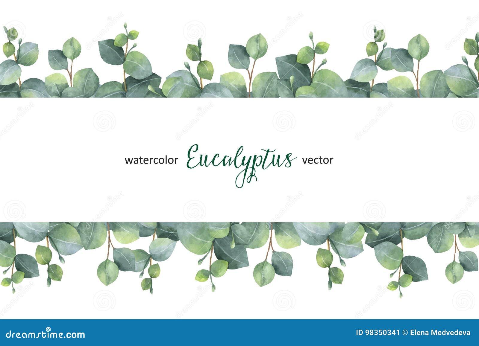La bandera floral del verde del vector de la acuarela con el eucalipto del dólar de plata se va y ramifica en el fondo blanco