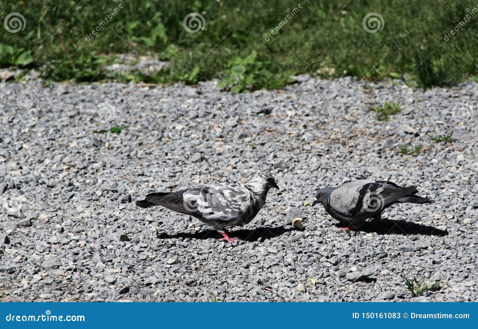 La batalla para el pan, la paloma contra paloma