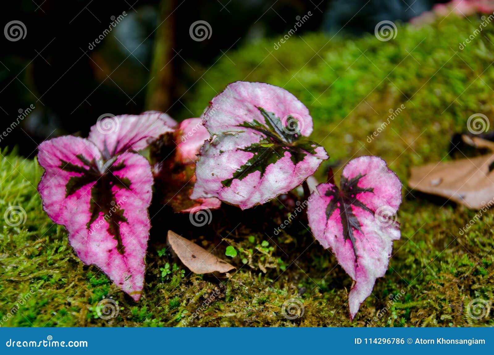 La begonia, perteneciendo al Begoniaceae de la familia, es uno de los géneros más grandes de las angioespermas, conteniendo por l