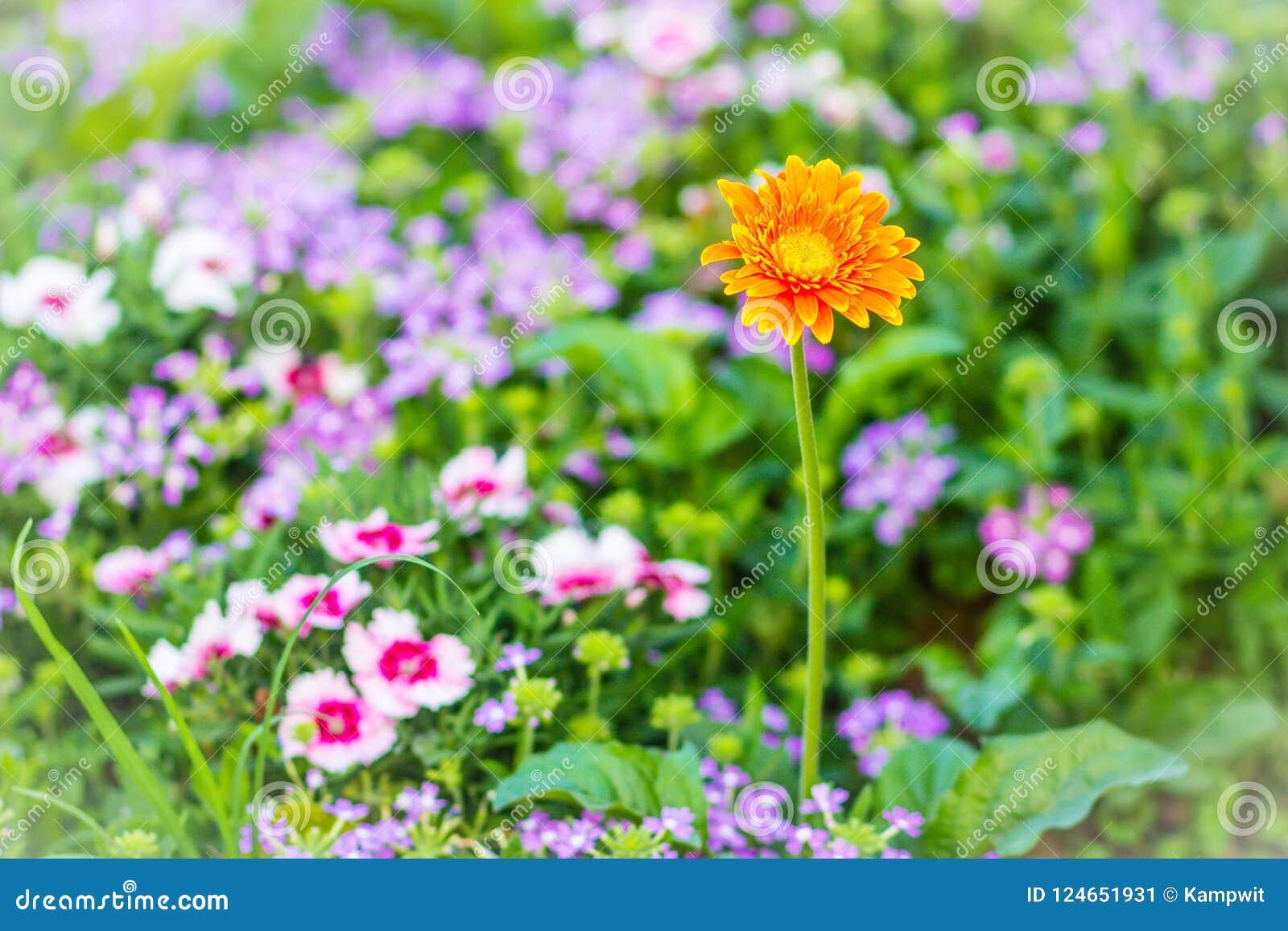 La bella margherita ibrida arancio di Barberton o della gerbera fiorisce (hybrida di jamesonii della gerbera) sull aiola Jamesoni
