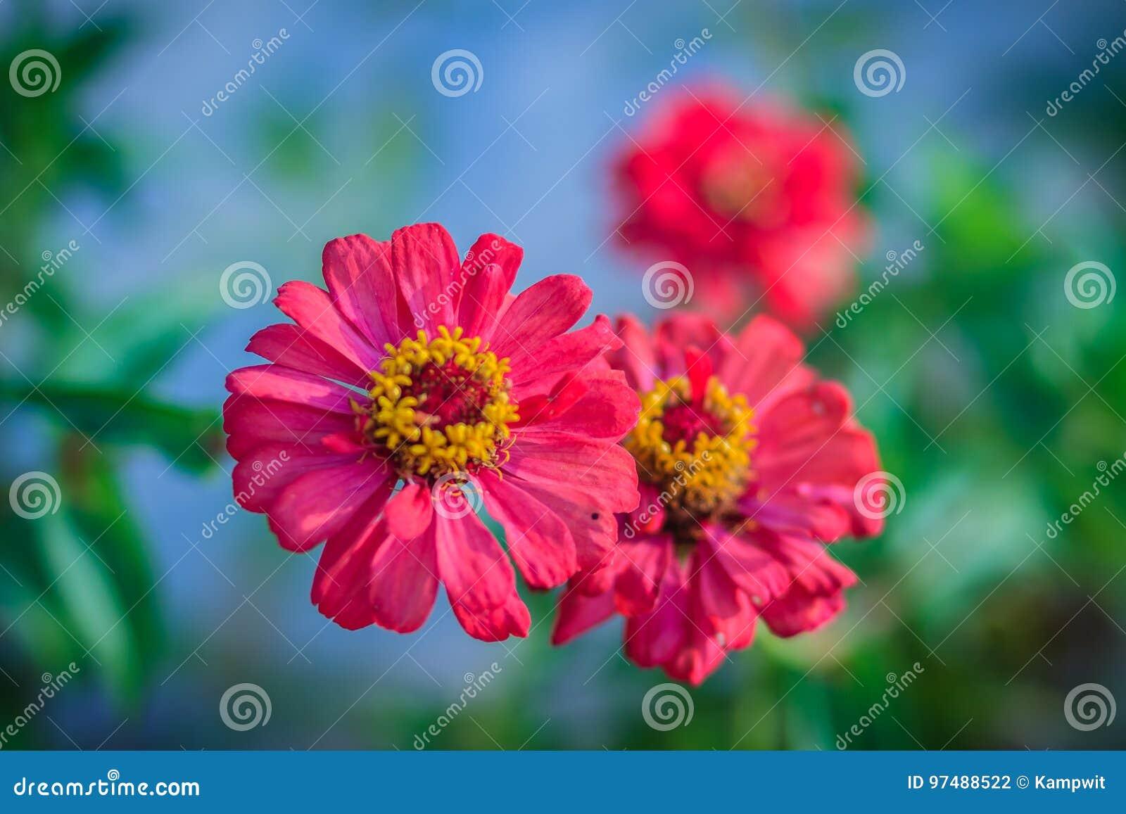 La bella zinnia di rossi carmini fiorisce la vista superiore nel giardino dell estate (Zinn
