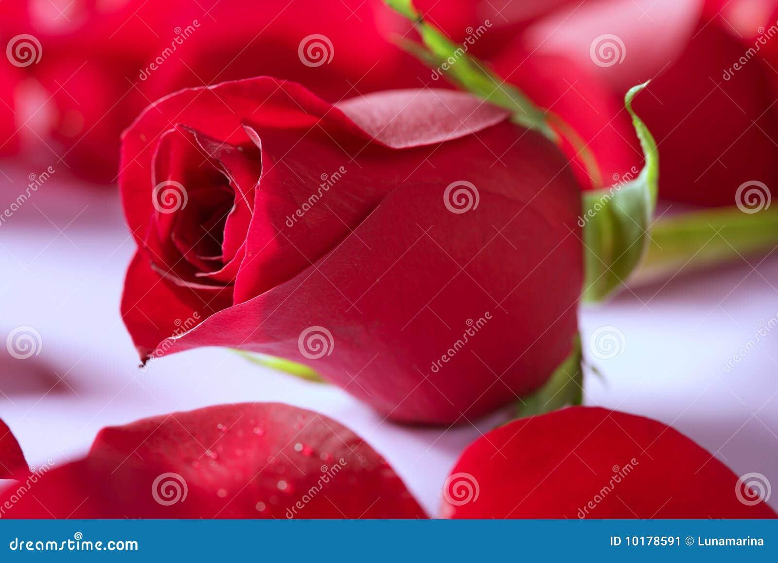 La belle fleur au dessus du rouge de p tales s 39 est lev e for La belle fleur
