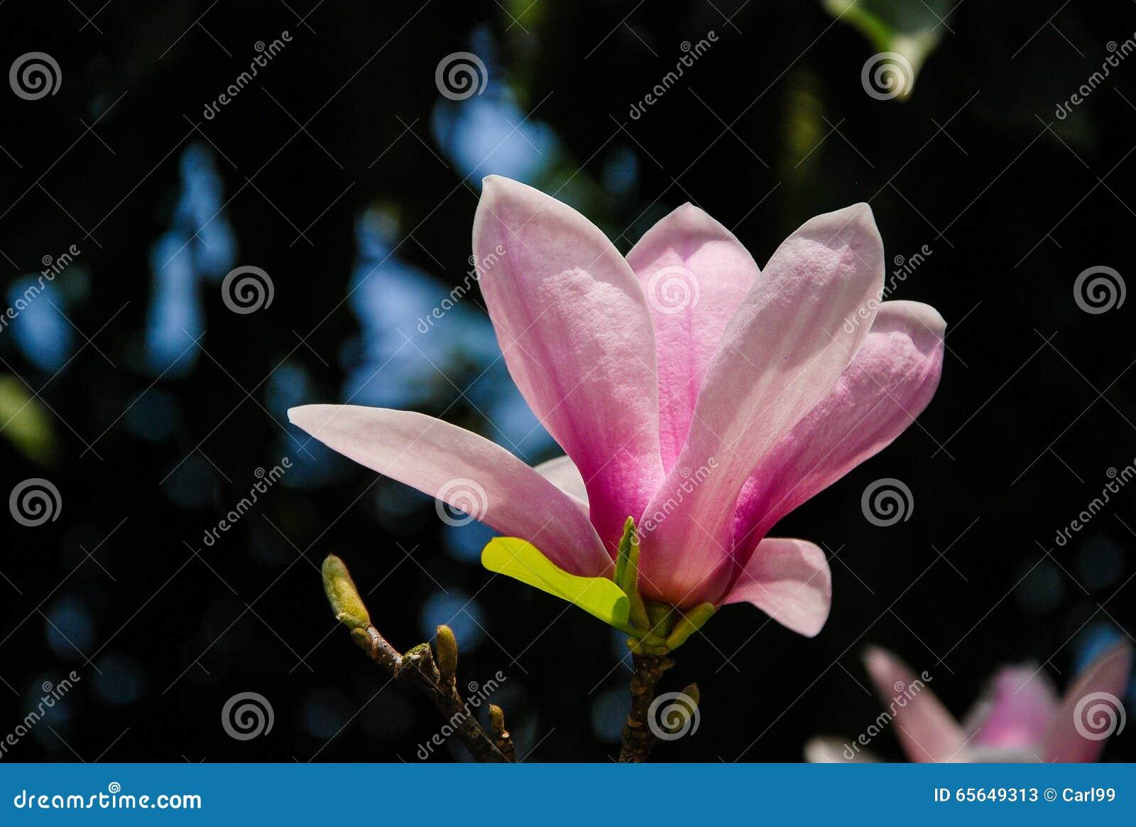 La belle fleur de floraison de magnolia dans le jardin