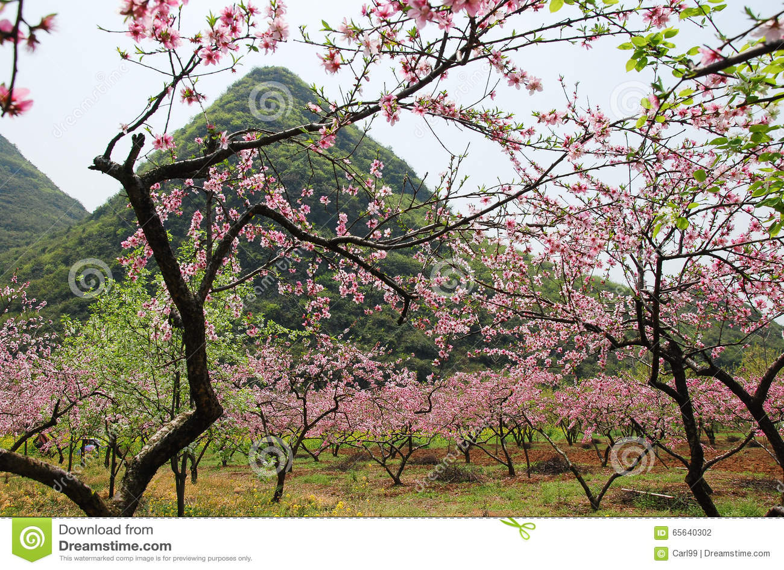 La belle fleur de floraison de pêche au printemps