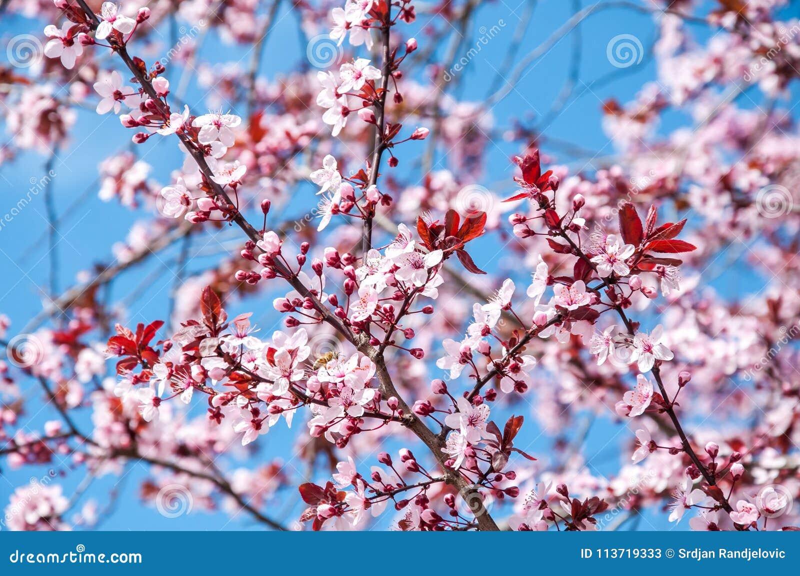 La belle fleur rose ou pourpre de cerisier fleurit la floraison au printemps temps, avec le fond de ciel bleu, foyer sélectif
