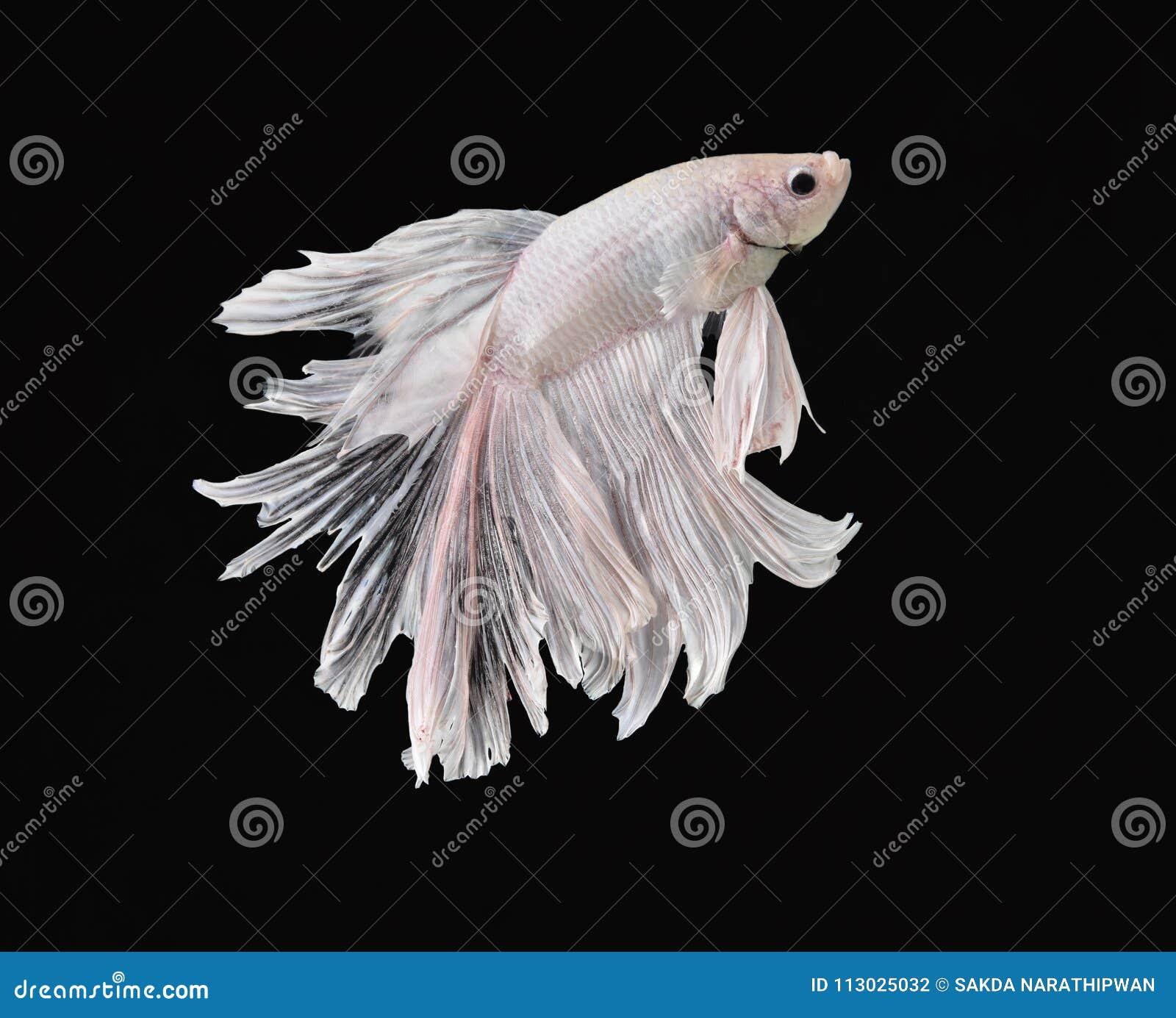 La belleza de pescados siameses en acuario con el fondo negro