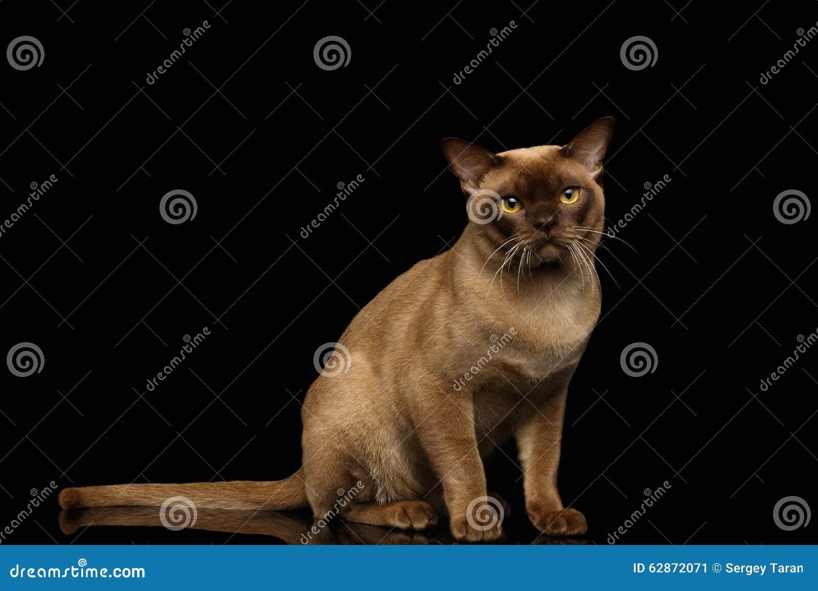 La Birmanie Cat Sits et regard in camera sur le noir