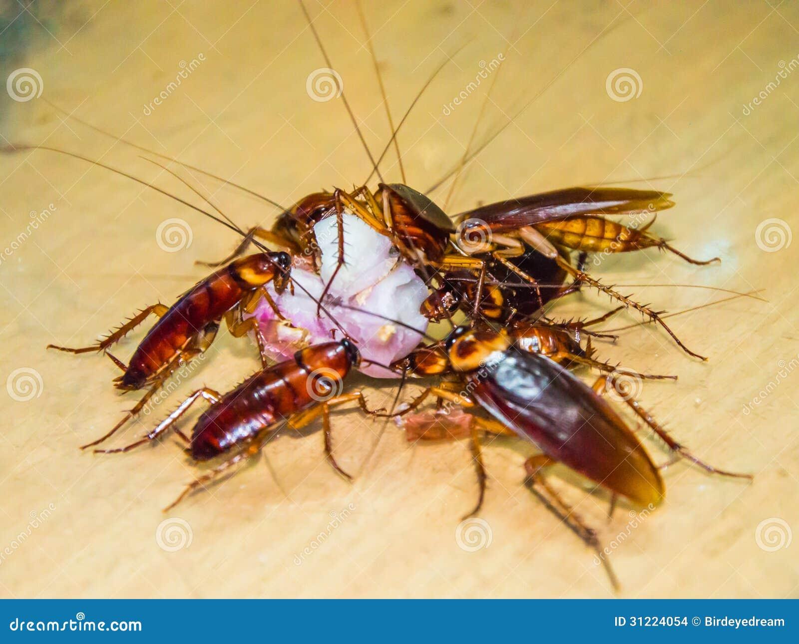 La blatta mangia la frutta fotografia stock immagine di macro